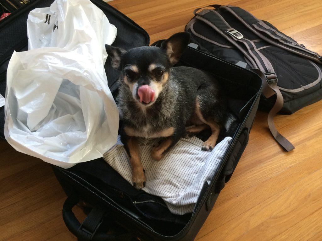 Bessie Chihuahua Rescue Dog in Suitcase   www.littlechefbigappetite.com
