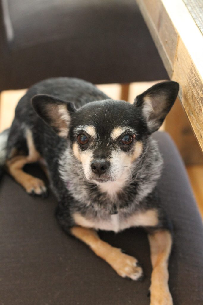 Bessie Chihuahua Rescue Mix Black White and Tan | www.littlechefbigappetite.com