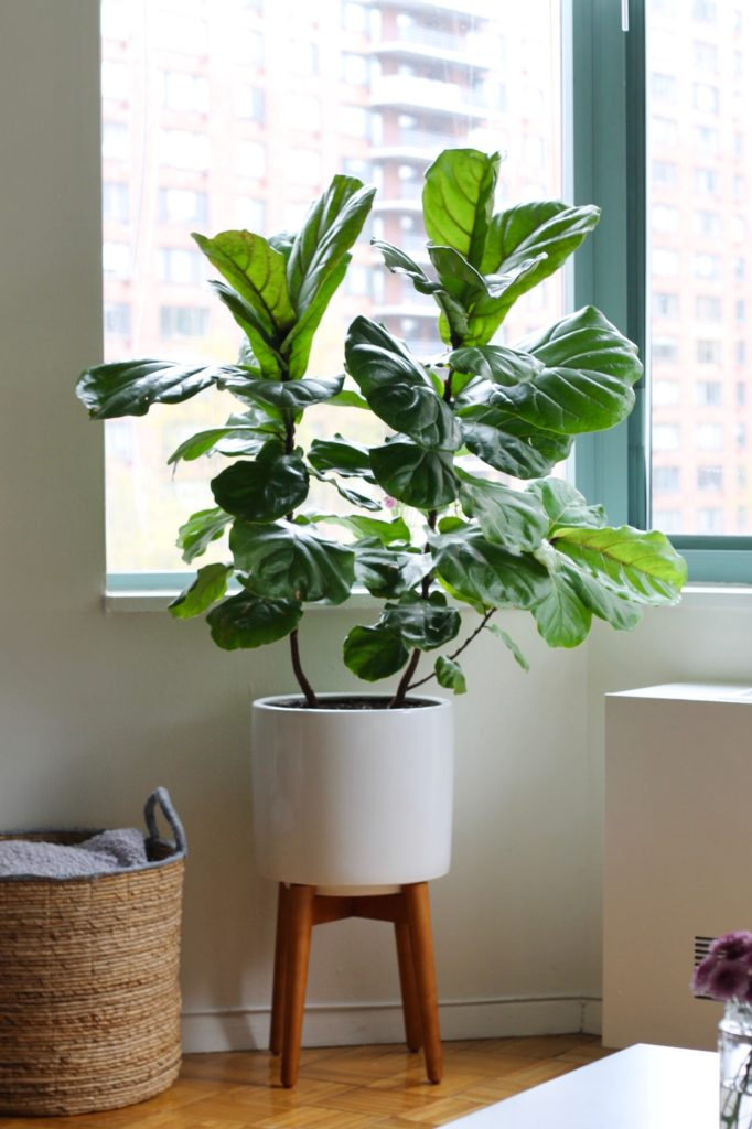 Fiddle Leaf Fig Tree in a West Elm White Indoor Planter | www.littlechefbigappetite.com